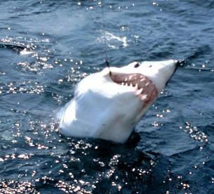 Shark Fever!