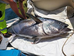 DiNuccio family's 500lb Bluefin on Tuna Hunter
