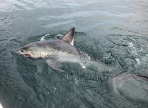 Porbeagle Shark 250lbs