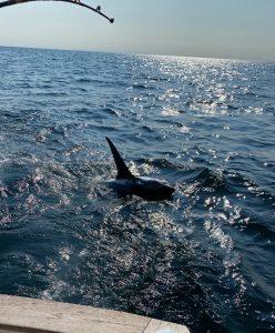 Reagan Family Thresher Shark on Tuna Hunter Fishing Charters