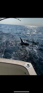Thresher Shark on Tuna Hunter Fishing Charters